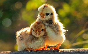 #chicks #sexed #birdsandbees #tween